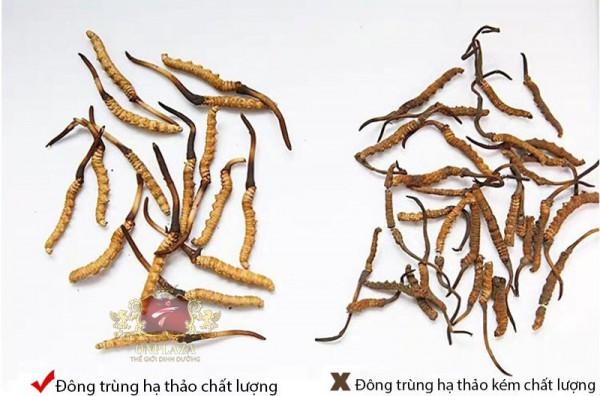 Cách phân biệt đông trùng hạ thảo thật giả chính xác 100%