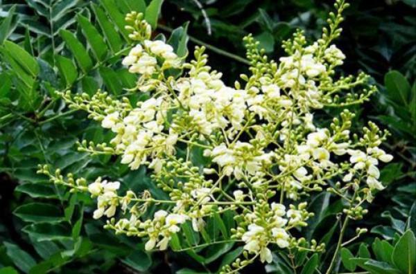 Tác dụng của hoa hòe đối với sức khỏe con người