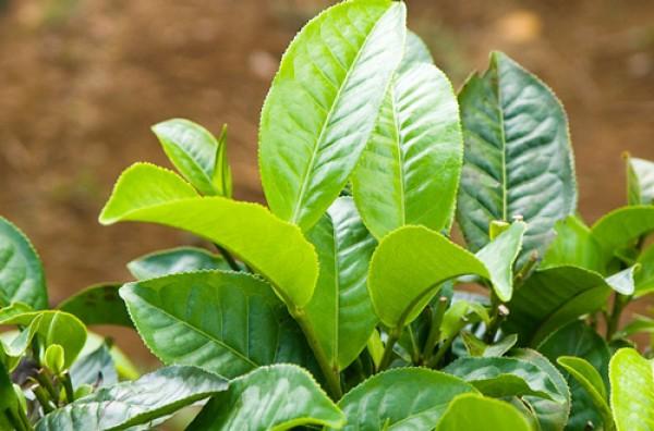Cây chè - Tác dụng của cây chè trong chữa bệnh