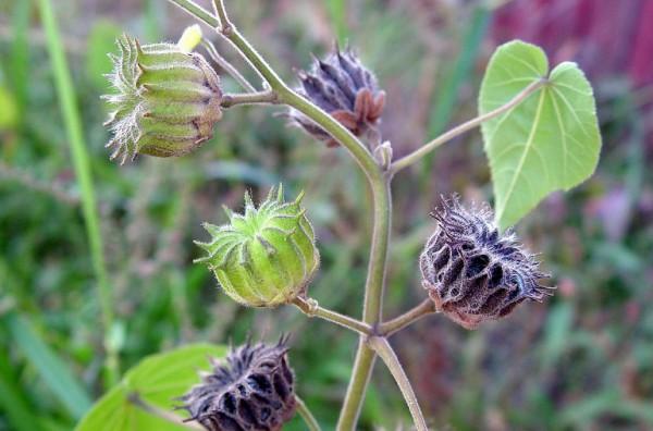 Vị thuốc Đông Quỳ Tử là gì? Tác dụng - Cách dùng