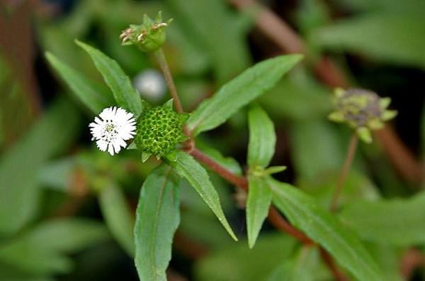 Cây cỏ mực (nhọ nồi) - Tác dụng trị bệnh & Bài thuốc hiệu quả