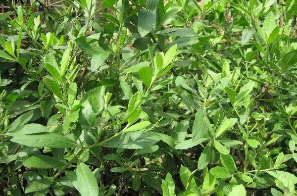 Cây Đại bi (Từ bi xanh): Đặc điểm sinh thái, bài thuốc chữa