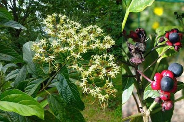 Cây bọ mẩy – công dụng, bài thuốc chữa bệnh từ cây bọ mẩy