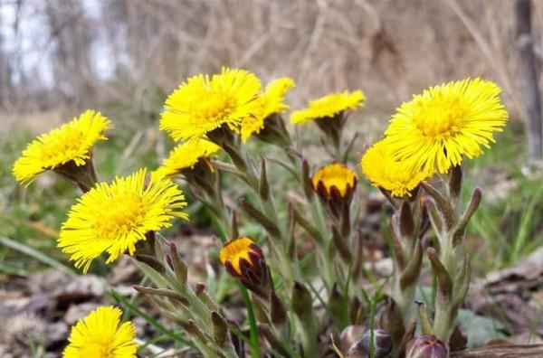 Khoản đông hoa là loại thảo dược gì? Công dụng, cách dùng thế nào để hiệu quả?