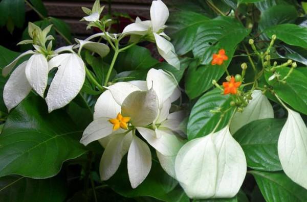 Vị thuốc cây bướm bạc và tác dụng trị bệnh