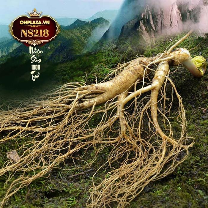 Sâm tươi núi đá Triều Tiên thượng hạng 1000 năm củ to NS218