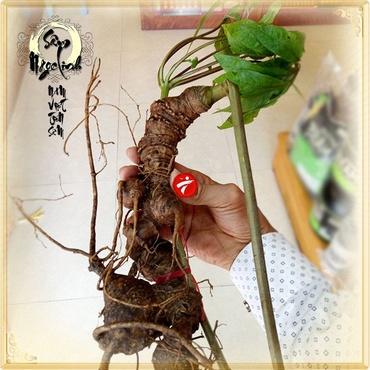 Sâm Ngọc Linh núi Kon Tum tự nhiên loại 4 lạng củ