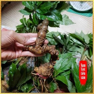 Sâm Ngọc Linh trồng 6 đến 7 năm tuổi (9 đến 11 củ 1kg) NS227