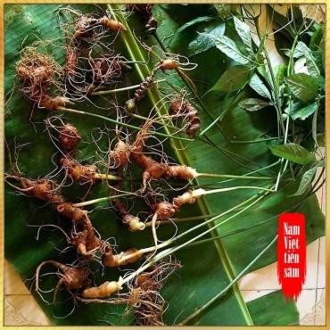 Sâm Ngọc Linh trồng 8 – 10 năm tuổi 20 củ/kg NS179