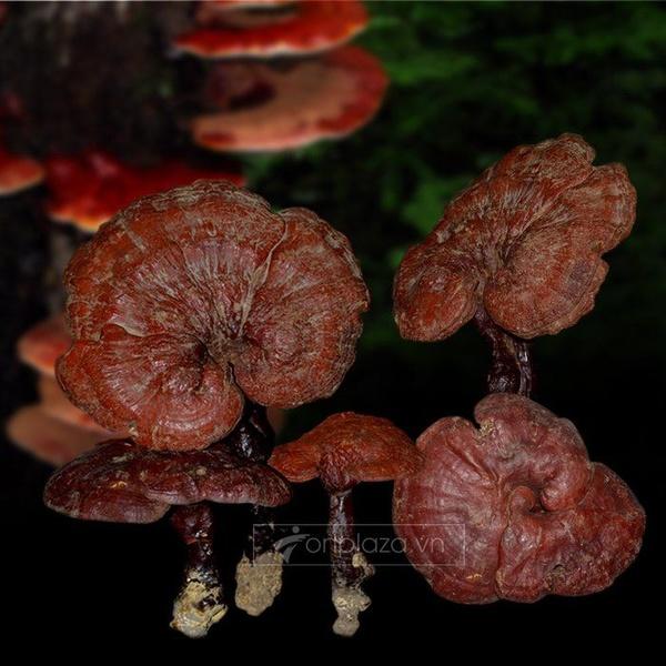 Nấm lim xanh rừng tự nhiên tại Quảng Nam loại 1