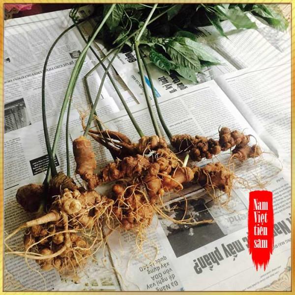 Sâm ngọc linh 5 năm tuổi 11 đến 16 củ/1 kg