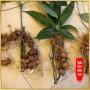 Sâm Ngọc Linh trồng 15 - 20 năm tuổi, 5 củ 1kg